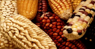 Exotic varieties of maize are collected to add genetic diversity when selectively breeding new domestic strains