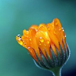 marigold flower bud beginning to open in spring covered with small water droplets