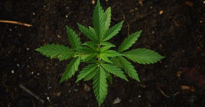Green marijuana plant growing out of the soil