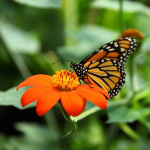 Monarch butterfly perched on an orange flower