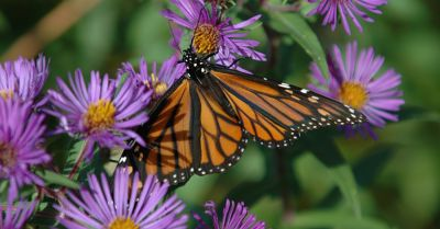monarch butterfly landing on a bunch of purple flowers