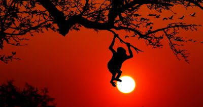 silhouette of a monkey hanging from a tree in the jungle at sunset
