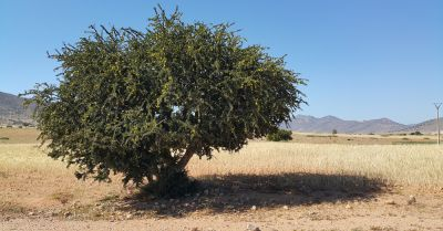 An argan tree in Moroccan desert