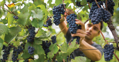 Grapes being picked.