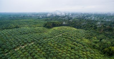aerial view of a palm oil plantation