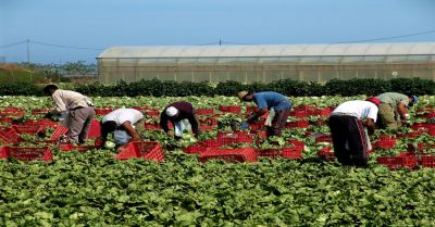 farmworkers picking lettuce