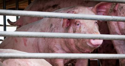 pink pigs in a metal cage on a factory farm CAFO