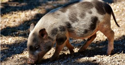 small spotted baby pig on a farm