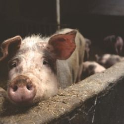 sow and piglets on a factory farm