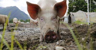 large sow on a hog farm with its snout in the mud