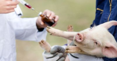 baby pig in the arms of a veterinarian about to be given a vaccination of antibiotics