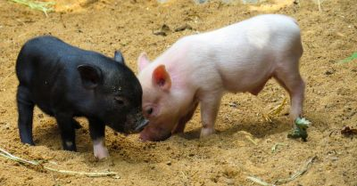 black and white piglets on a farm