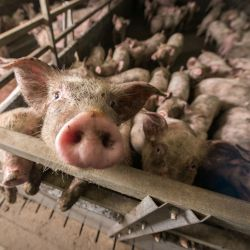 light colored pigs covered in dirt on a factory farm CAFO