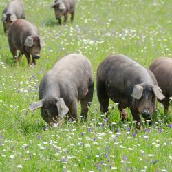 brown pigs grazing in a grassy meadow on a farm