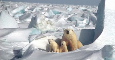 a mother polar bear and her two cubs sit on frozen tundra in the Arctic circle