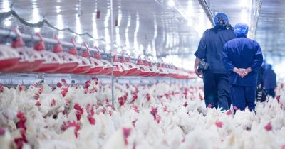Staff dressed in blue scrubs walking through chicken at poultry factory farm