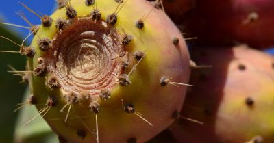 close up of a prickly pear cactus fruit