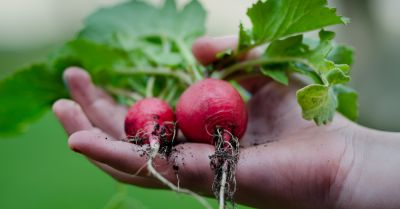 hand holding a harvest of red radishes