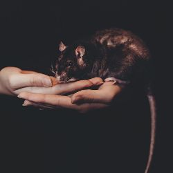 pair of hands holding a black rat