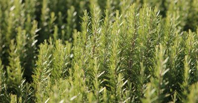 rosemary plant growing in a field