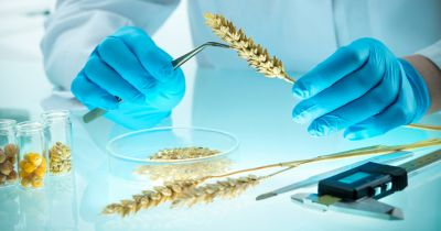 scientist in a laboratory inspecting gmo wheat grains