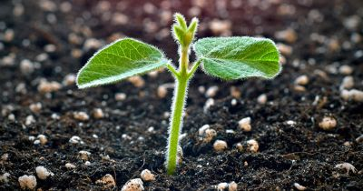 seedling sprout of a soy plant growing up through a dark colored soil