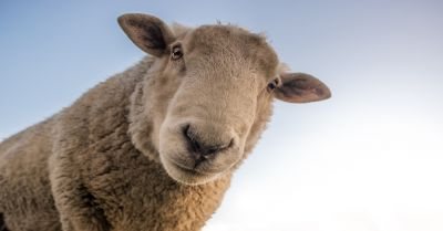 image of a curious sheep from below with a blue sky background
