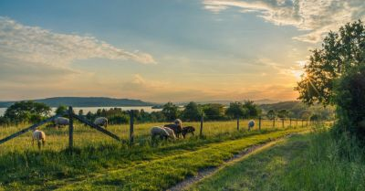 farm field of sheep livestock grazing near a fence at sunset