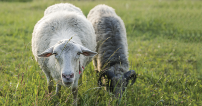 Sheep eating grass in a field.