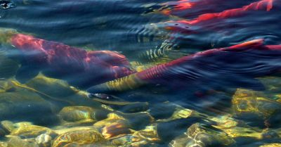 sockeye salmon swimming in a river