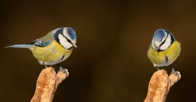 small blue and yellow songbirds