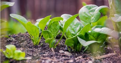 crop of spinach growing out of dark soil in a garden
