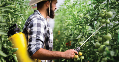 Farmer spraying pesticides on tomatoes.