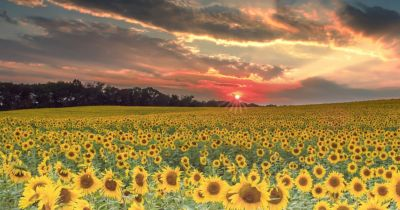 sunflowers in a field at sunset