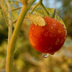 dew drops of water hanging on a tomato fruit and plant