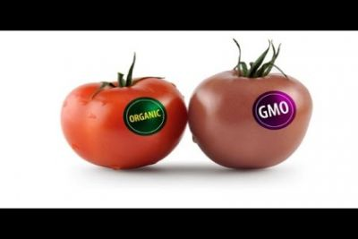 Tomatoes labeled organic and GMO