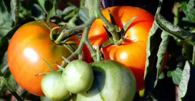 tomatoes on a tomato plant