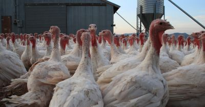 many white turkeys crowded together outdoors on a factory farm near a metal barn