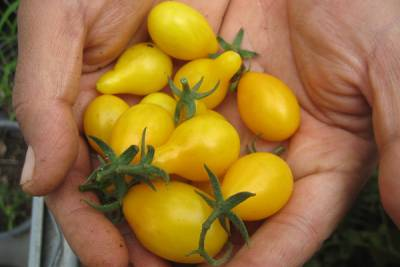 Yellow Tomatoes from Via Organica