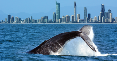 Humpback whale and city.