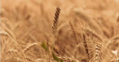 stalk of wheat sticking up in a field