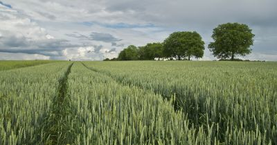 agricultural farm field of wheat crop with trees in the distance