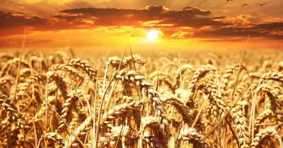Agricultural wheat field at sunset