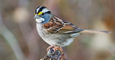 white throated sparrow perched on branch
