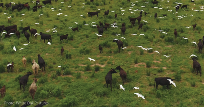 Cows grazing and birds.