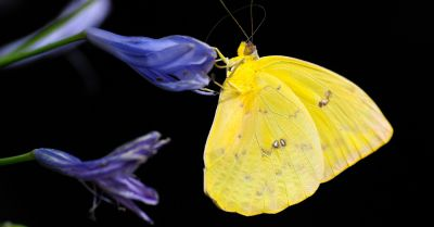 yellow butterfly on a purple flower in front of a black background