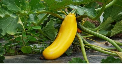 yellow zucchini squash growing in a green garden