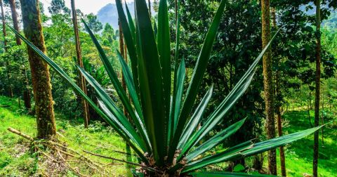 Agave plant in natural habitat forested area