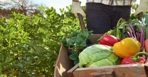 farmer in a field harvesting vegetables and carrying them in a wooden wheelbarrow