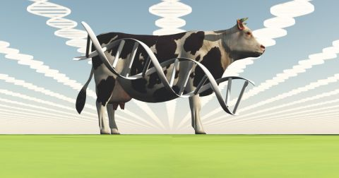 black and white cow in a field with superimposed computer generated gene strands flying above and over the cow